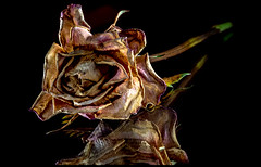 The decaying rose. . . (CWhatPhotos) Tags: cwhatphotos olympus pen f micro four thirds 43 digital camera photographs photograph pics pictures pic picture image images foto fotos photography photo tint artistic that have which with contain art penf mark 2 light shadow shadows yellow bright color colour colors colours table top red zuiko 60mm mzuiko macro rose flower bud plant nature flickr decay dry dried dead decaying