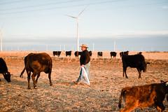 Farmer Feeding his Herd of Cattle (kaylasmithphoto) Tags: wind farm farming agriculture ag texas tx midwest plains panhandle farmer cowboy western cow cattle herd windenergy renewable energy