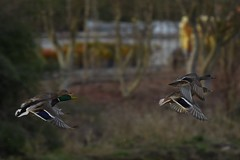 (Ian Threlkeld) Tags: ducks birds nature naturephotography pittmeadows ridgemeadows explore explorebc bc irt