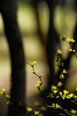 a spring moment (courtney065) Tags: nikond200 nature landscapes yellow trees abstract artistic dreamy bokeh branchlets blooms flowers spring morning flora foliage shadows shrub woodland glow woodsedge soft textures