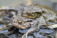 Common Toads. (ChristianMoss) Tags: common toad bufo amphibian amplexus