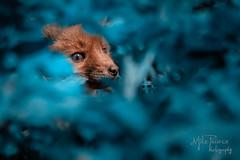 fox cub hiding Blue (mikephonehome) Tags: fox cub foxcub nature foliage blue hide wildlife