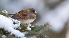 Dark-eyed Junco (idvisions) Tags: wildlife explore thewonderfulworldofbirds outdoor bird birds darkeyedjunco canoneos7d