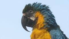 Alex (Meino NL) Tags: papegaai ara vogel bird anantarahuahin parrot portret portrait