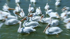 American White Pelicans (posterboy2007) Tags: lakechapala pelicans pelican americanwhitepelican water chapala