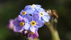 Forget Me Not. (mcginley2012) Tags: forgetmenot flower blue nature light sunlight spring2019 macro closeup eos600d canoneos600d ireland myosotis