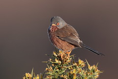 Dartford Warbler (Hammerchewer) Tags: dartfordwarbler bird male wildlife outdoor gorse