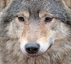 european wolf Ouwehands 094A0786 (j.a.kok) Tags: animal mammal zoogdier dier predator ouwehands wolf europe europa europeanwolf europesewolf