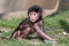 Baby (ToddLahman) Tags: hamadryasbaboon baboon beautiful outdoors baby babyhamadryas sandiego sandiegozoo nikond500 nikonphotography nikon portrait photooftheday photography photographer eyelock