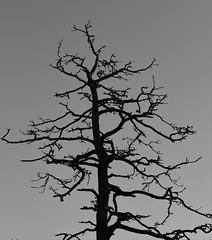6Q3A9160 (www.ilkkajukarainen.fi) Tags: blackandwhite mustavalkoinen monochrome luonto nature winter talvi helsinki seurasaari happy life museum stuff visit travel travelling puu kelo honka three puun ltva