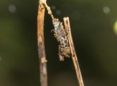 IMG_3019  Lophoruza lunifera (Moore, 1885)明蝠裳蛾 (vlee1009) Tags: 2019 60d canon january taipei taiwan yangmingshannationalpark moths caterpillars