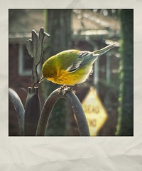 Little Male Pine Warbler on Our Feeder's Pole (steveartist) Tags: birds songbirds warblers pinewarblers malebirdsbokeh sonydscwx220 snapseed instantapp stevefrenkel feederpole tree house sign sunlight