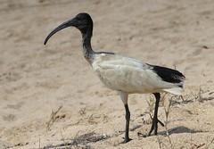 Australian Ibis 141018 (6) (F) (Richard Collier - Wildlife and Travel Photography) Tags: birds wildlife australia australianbirds australianibis naturalhistory