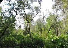 Saw Palmettos and Oak Trees 2748 (Tangled Bank) Tags: big shoals state park hamilton county florida wild nature natural trail hiking outdoors plant flora botany flower wildflower flowering saw palmettos oak trees 2748