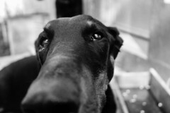 Cara bonita  #canon#perro#dog#doberman#dobermann#fotografía #blackandwhite #bnw #monochrome #instablackandwhite #monoart #insta_bw #bnw_society #bw_lover #bw_photooftheday #photooftheday #bw #instagood #bw_society #bw_crew #bwwednesday #insta_pick_bw #bws (isaacdeza3) Tags: photooftheday instablackandwhite perro bwsociety ojos canon instapickbw monoart blackandwhite bw bwcrew bwphotooftheday bwwednesday instagood bnwsociety bwstyleoftheday iroxbw monochromatic fotografía bnw dobermann bwlover instabw igersbnw monochrome dog doberman bwstylesgf