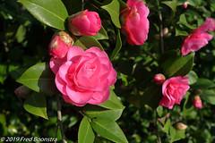 """Camellia Japonica grand Prix"" (Fred / Canon 70D) Tags: camelliajaponicagrandprix camellia flowers closeup macro 24mm canon canon70d canoneos efs24mmf28stm garden eefde"