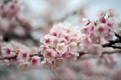 ATAMI Cherry (tez-guitar) Tags: cherryblossom cherry blossom blossoms bloom pentax pentaxart spring flower petal sakura macro tamron machida 町田 machida tokyo