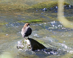 Photo of Dipper on the Ceres Burn