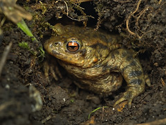toad_in_a_hole_1310467 (jswildlife) Tags: jswildlife lumixgx8 olympusmacrolens60mmf28 meikemk320 toad commontoad toadinahole bufobufo amphibian daytime abingdon bartonfields naturereserve oxfordshire uk