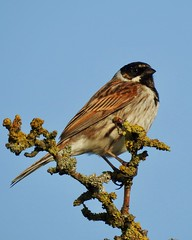 Reed Bunting (LouisaHocking) Tags: british bird southwales wild wildlife nature goldcliff lagoons newport rspb gardenbird