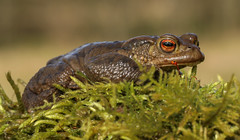 Common toad (waynehavenhand1) Tags: amphibian bufobufo commontoad toad