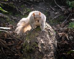 Squirrel (802701) Tags: 2019 201903 43 alba britain britishisles cityofglasgow em1 em1markii em1mkii europe gbr glasgow greatbritain greaterglasgow mft march march2019 micro43 omd omdem1 olympus olympusomdem1 olympusomdem1mkii scotland uk unitedkingdom animal animals fourthirds mammal microfourthirds mirrorless photography squirrel squirrels travel travelling wildlife