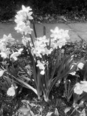 Black and White Buttercups Fairhope (King Kong 911) Tags: black white buttercups fairhope market flowers traveling stores cars buildings