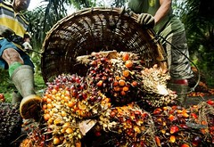 What are the Benefits of Palm Oil? (Read News) Tags: medicinal plants benefits herbs their uses trees articles guide list oil palm