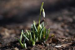 Snowdrops (Tashata) Tags: macro spring nature flowers plant white flora outdoor closeup beautiful botanical bokeh sonyilce7rm2 fe90mmf28macrogoss snowdrops