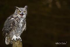 Great Horned Owl_T3W2803 (Alfred J. Lockwood Photography) Tags: alfredjlockwood nature wildlife birdsofprey greathornedowl owl raptor ontario canada autumn morning portrait bokeh