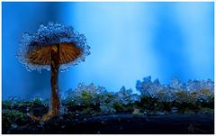 Eisrüstung (ⒶZ-Photo) Tags: olympus omdem5ii zuikoautomacro 50mm35 focusstacking combinezp gimp darktable pilz makro mushroom macro