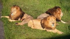 ✪ 間もなく本日の業務終了 アドベンチャーワールド (haguronogoinkyo) Tags: nikon d610 japan zoo lion adventure world ライオン 動物園 アドベンチャーワールド 和歌山 黄昏