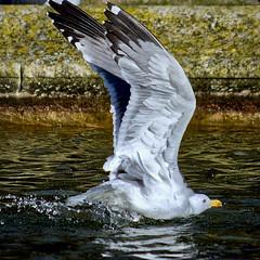 Bain d'eau douce (thierrybalint) Tags: oiseau bird gabian goéland eau water parc borely marseille park nikon nikoniste balint thierrybalint ngc