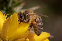 Honey Bee (Spenner_BFC) Tags: bees hornets insects