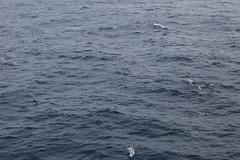 IMG_0303 (y.awanohara) Tags: humpbacks humpbackwhales whales whale southgeorgia scotiasea january2019 wildlife cetacean