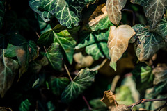 Fading (rg69olds) Tags: 03312019 40mm 5dmk4 canoneos5dmarkiv nebraska sigma40mmf14artdghsm canon oldmarket omaha shadow sigma sigmaart street vine vines fade fading leaf leaves green brown 40mmf14dghsm|a plant