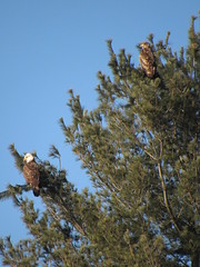 Two Bald Eagles In A Pine (amyboemig) Tags: bald eagles pine tree turnersfalls ma winter march morning sunlight immature