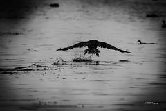 """""""Train de décollage d'un cormoran"""" (leguen.maxime) Tags: cormoran décollage eau loiret 2019 fleuve rivière oiseaux animal nature voler"""