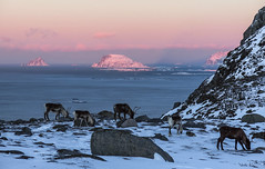 January in the Arctic. A chilly but relaxed tableau. (Snemann) Tags: animals january arctic reindeer kvaløya tromsø norway troms canong16 islands coast wildscreenexchange wildscreen