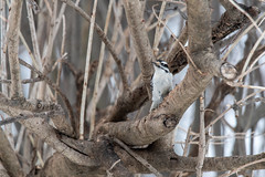 arcadia2019-89 (gtxjimmy) Tags: nikond7500 nikon d7500 tamron 150600mm arcadiawildlifesanctuary massaudubon audubonsociety easthampton massachusetts winter birds woodpecker hairywoodpecker