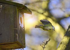 Free... (KissThePixel) Tags: tree bird greattit britishbird rspb birdwatching garden mygarden bokeh nature nikon nikond750 tamron150600mm tamron 150600mm capture freedom wildbritain wildlifephotography wildlife february
