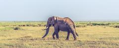 Elephant (Prashanth S) Tags: safari africansafari africa kenya parks wild wildlife safariphotography travel amboseli ambo nature natural herd elephants animals animal