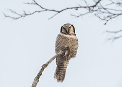 Northern hawk-owl (JS_71) Tags: nature wildlife nikon photography outdoor 500mm bird new winter see natur pose moment outside animal flickr colour poland sunshine beak feather nikkor d7500 wildbirds planet global national wing eye tree sky