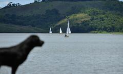 Espreita (Márcia Valle) Tags: represajoãopenido juizdefora minasgerais brasil brazil velas sailing sail márciavalle nikon d5100 summerday diaquente dog cão water água sports esporte