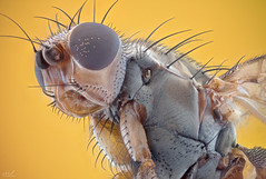 Fly (robert.vierthaler) Tags: sony a6300 macro macrophotography microscope semiplan carlzeiss zeiss m42 bellows fly compoundeyes bristles insect ngc
