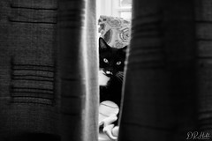 I see you (D. R. Hill Photography) Tags: cat feline pet eyes eyecontact animal blackandwhite monochrome nikon nikond750 d750 nikon50mmf14g nikon50mm 50mm primelens fixedfocallength whiskers fur