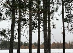 Falling Snow at St. Croix State Park (Tony Webster) Tags: april minnesota saintcroixstatepark stcroixstatepark tonywebster snow snowing statepark trees winter crosbytownship unitedstatesofamerica us