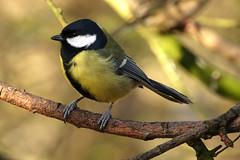 Great Tit (hedgehoggarden1) Tags: greattit bird wildlife nature sonycybershot norfolk eastanglia uk creature animal rspb sony birds