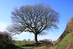 Another giant Oak (worldthroughalens74) Tags: oak tree winter sun blue sky uk england staffs nature outdoors canon sigma