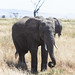 Mature elephant